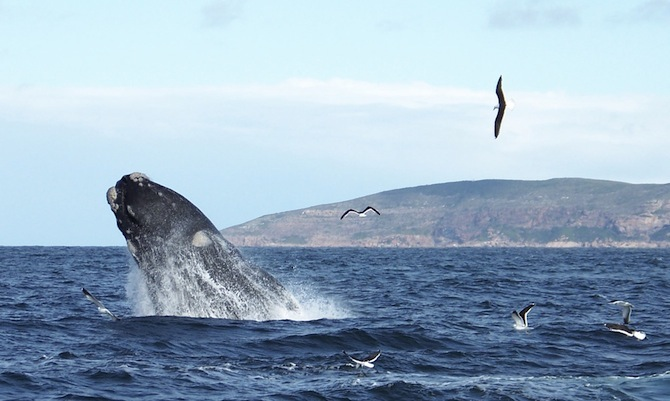 Whale breaching with seagulls