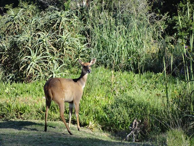 Shy Bushbuck blog